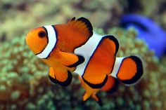 Ocellaris Clownfish - Captive