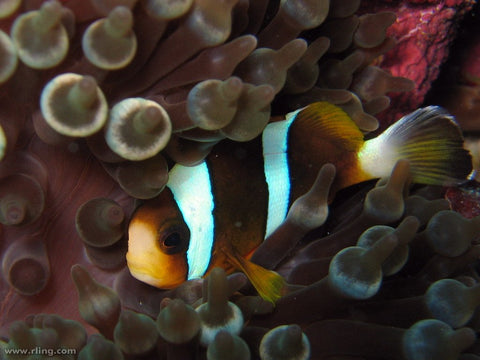 Brown Clownfish