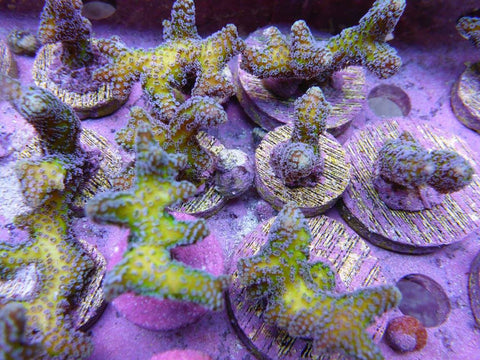 Reef Secrets Birds Of Paradise Frags