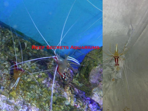 Red Line Cleaner Shrimp - Lysmata amboinensis