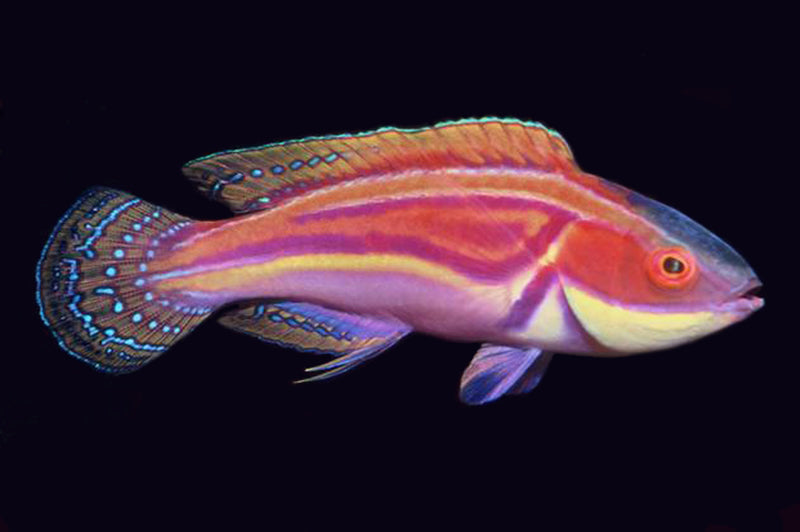 Laboutei Wrasse
