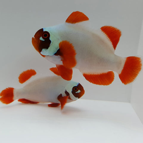 Gold Nugget Clownfish