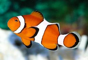 Percula Clownfish - Captive