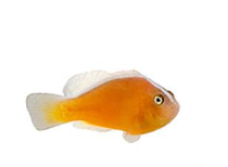 Skunk Clownfish - Captive