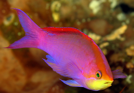 Pascalus Anthias