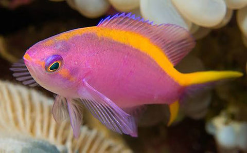 Tuka Anthias
