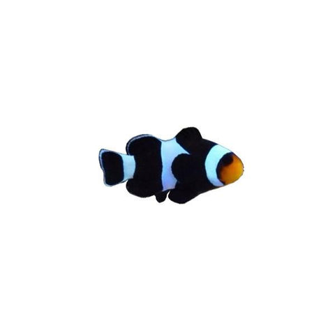 Black & White Ocellaris Clownfish - Captive