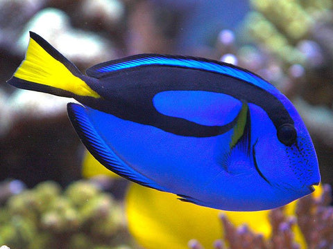 Paracanthus hepatus - Blue Tang Small