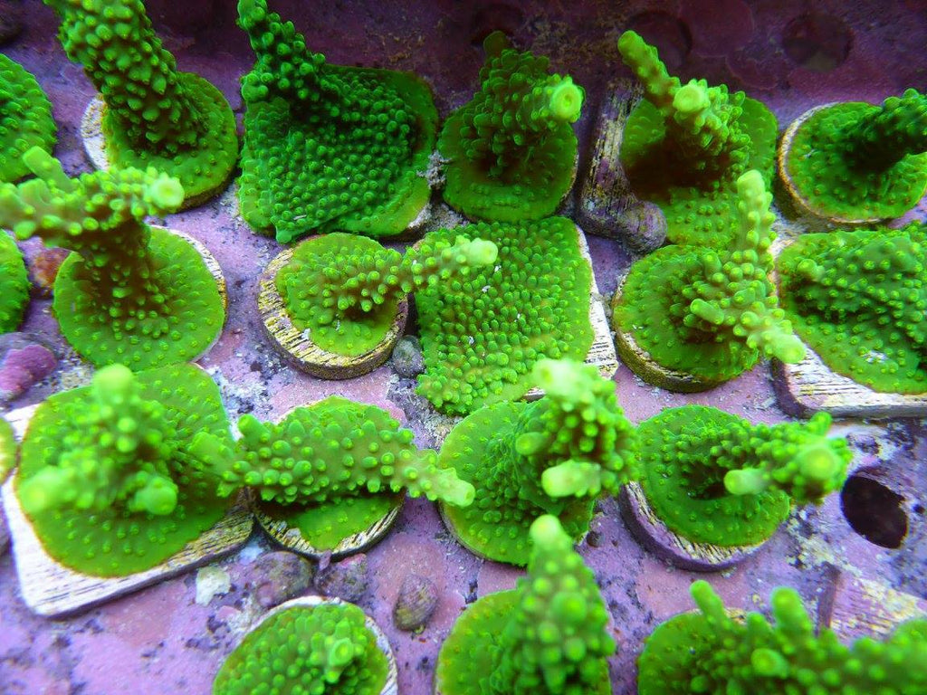 Reef Secrets Green Dallas Acro Frags