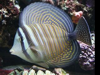 Zebrasoma desjardinii - Red Sea Sailfin Tang