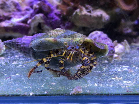 Yellow band Hermit crab