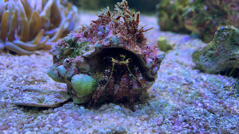 Larger hermit Hermit crab