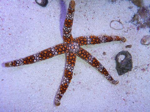 Pebble Star fish