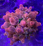 Forest fire bubble Tip Anemone sm