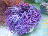 Ultra Purple Crispa Anemone