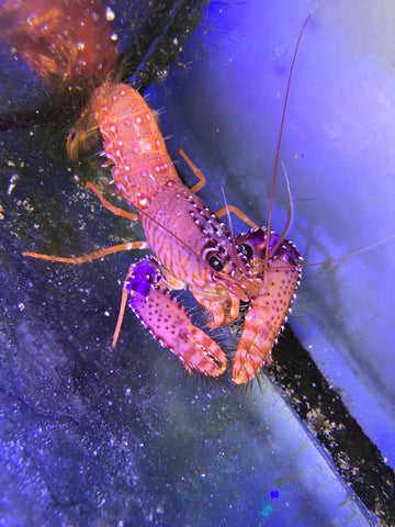 Orange Reef Lobster