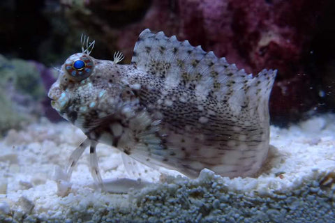 Lawnmower Blenny