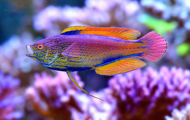 Lineatus Wrasse