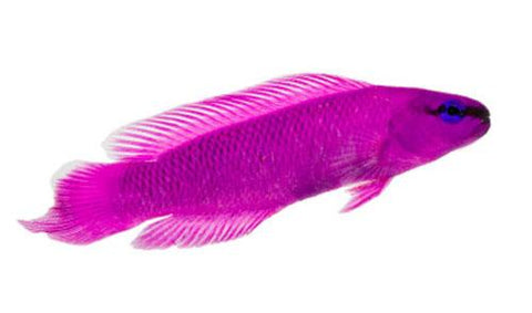Orchid Dottyback - Captive