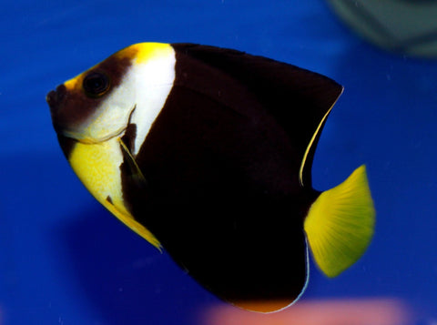 Personifer Angelfish