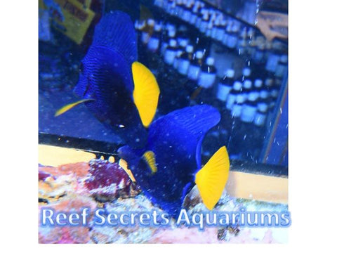 Zebrasoma xanthurum - Purple Tang Large