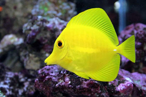 Zebrasoma flavescens - Yellow Tang Small