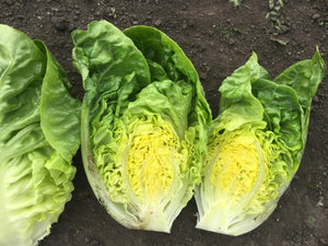 Lettuce, Little Gem CN LGEM 3367