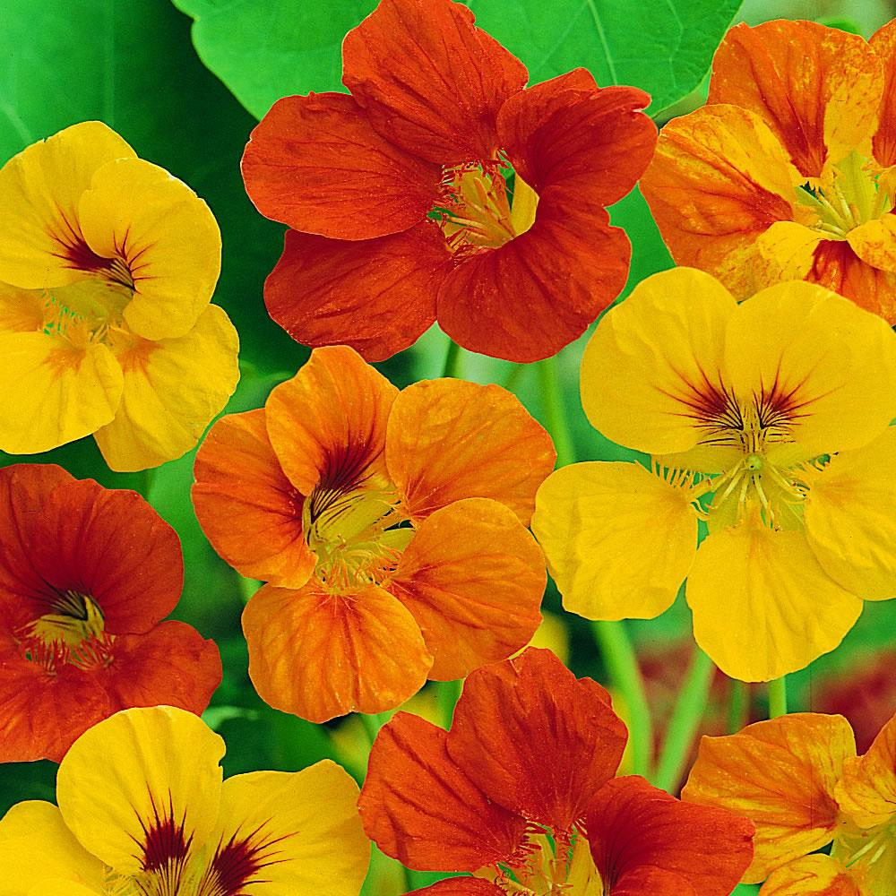 Nasturtium Tom Thumb Mix
