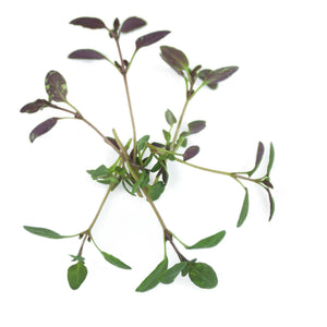 Micro Thyme English Winter