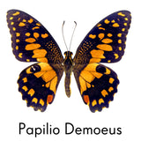 Papilio Demoeus butterfly repositionable wall decal