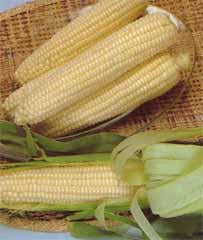 Sweet Corn Silver Queen White