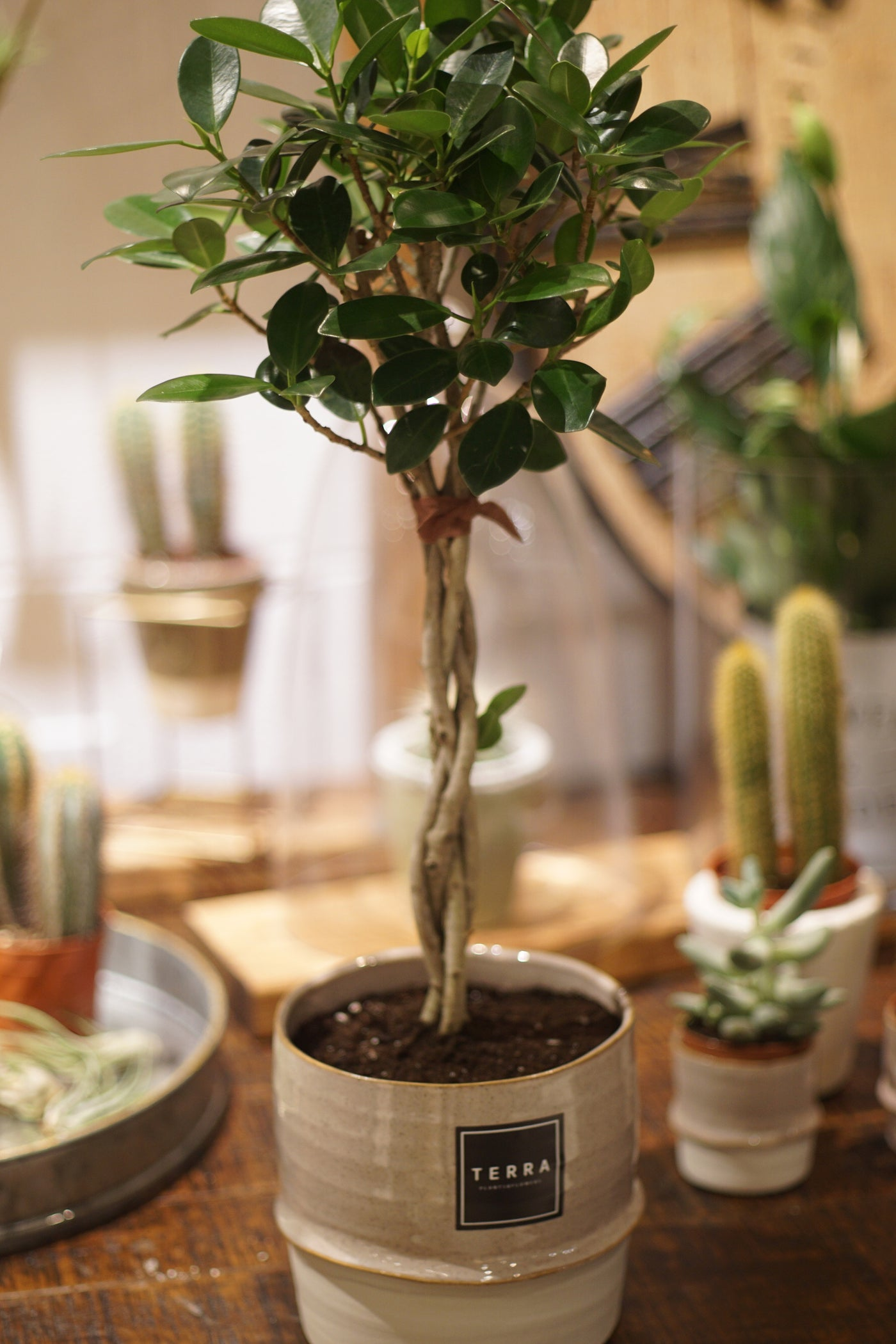 Green Island Ficus with Pot