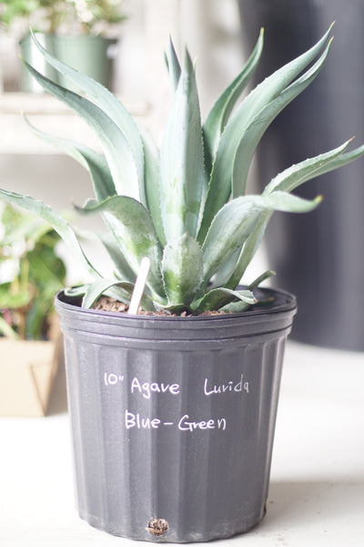 "10"" Agave Lurida Blue-Green"