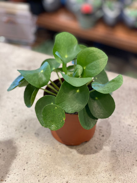 "5"" Pilea peperomioides (Chinese Money plant)"