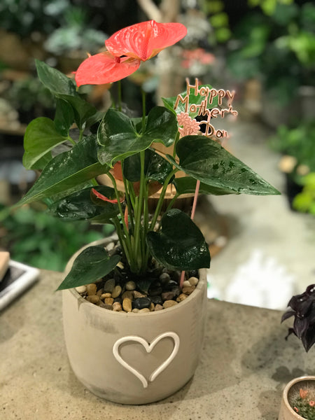 Pink Anthurium with pot