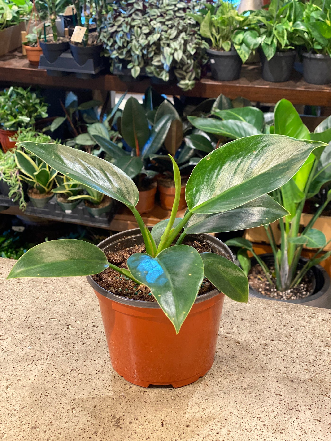 Philodendron Imperial