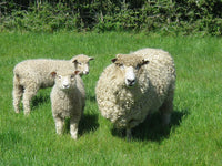 image of live sheep in a paddock from Melton Park English Leicester stud.