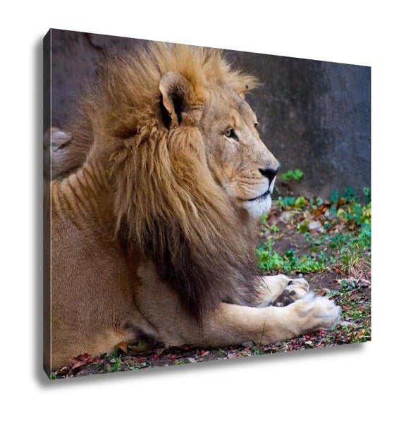 Gallery Wrapped Canvas, African Male Lion - Catbulous