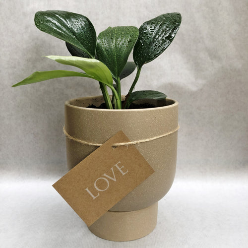 Evergreen Pot Small - Potted Plant