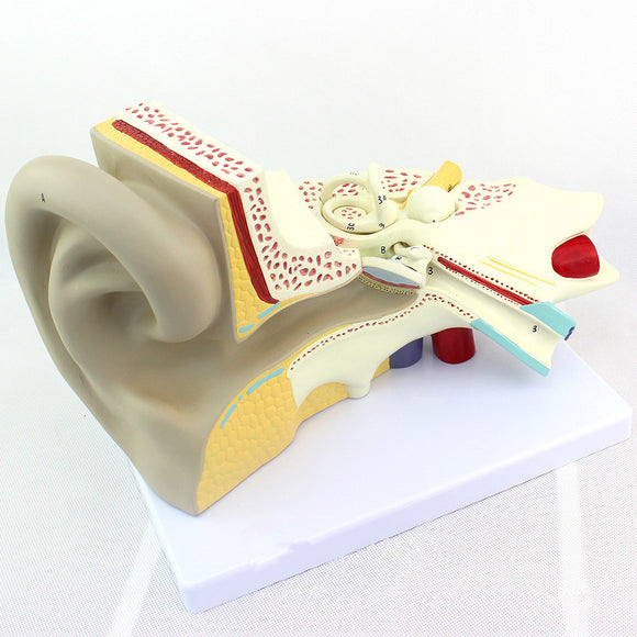 Ear Model 3 Times Life-size 3 Parts EJ198