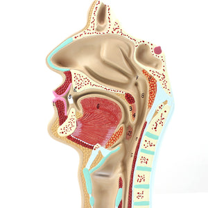 Sinus Cross Section Nasal Cavity 1:1 Life-size EJ154A