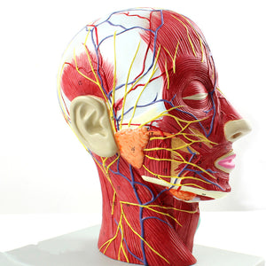 Head and Face Sagittal Section Model EUKN01