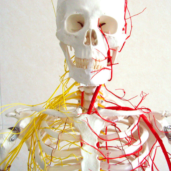 Life size 170cm Human Skeleton Model with Nerves Blood Vessels SJ101N