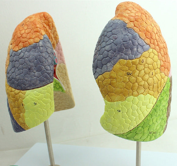 Human Lung Model Colored 1:1 Life-size 2 Parts LJ164A