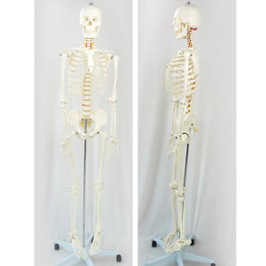 Classic Life Size 170cm Anatomy Human Skeleton Model with Stand SJ101