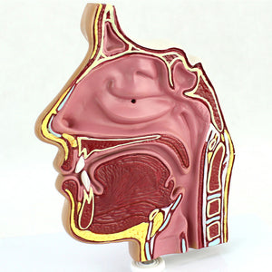 Sinus Cross Section Nasal Cavity EJBQ01-N