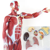 78cm 1/2 Life-Size Unisex Muscle Model 27 Parts MJR001