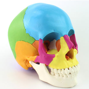 Didactic Human Skull Model Colored Version 22 parts SJ110CKC