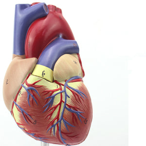 Classic Heart Model 1:1 Life-size 2 Parts HJ141