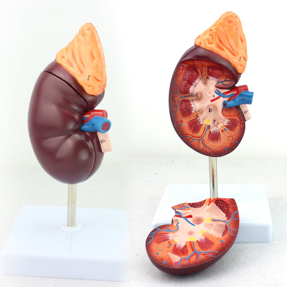 Kidney Section Model 1.5 Times Full-size 2 parts UJ750A